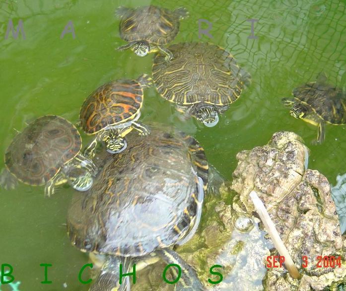 Tortugas se pueden poner con gallinas for Estanques para tortugas de agua