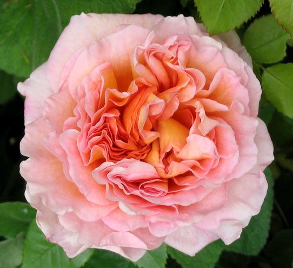 abraham-darby-rose.jpg