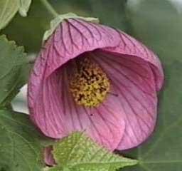 abutilon-hybridum.jpg