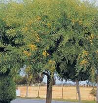 acacia-cyanophylla.jpg
