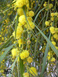 acacia_longifolia4266s.jpg