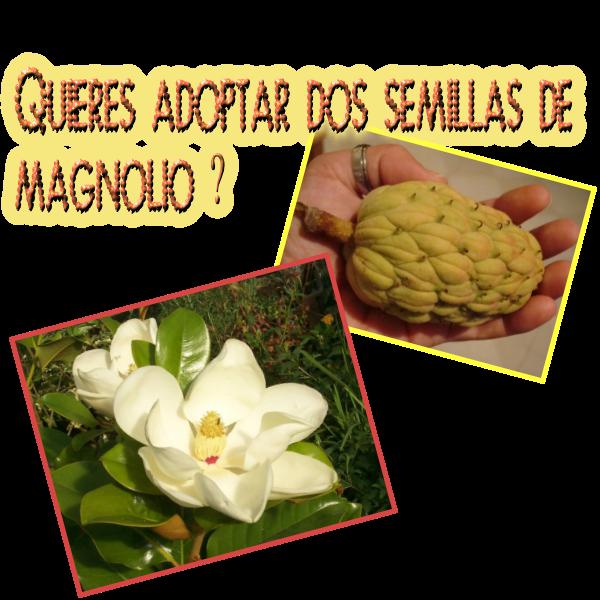 Magnolio germinaci n de semillas e intercambios - Semilla de magnolia ...