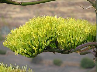 agave_americana2.jpg