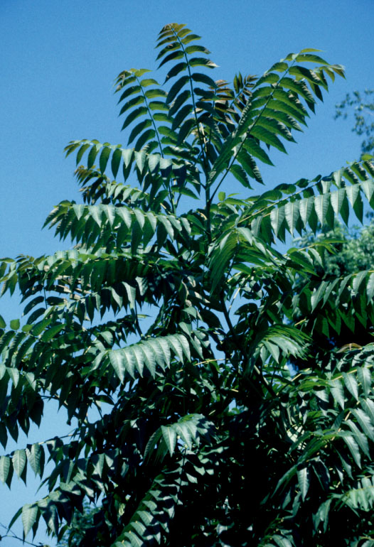 ailanthus.jpg