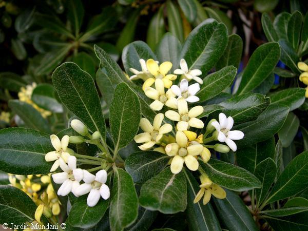 Fotos de arbustos con flores blancas para identificar - Arbustos perennes con flor ...