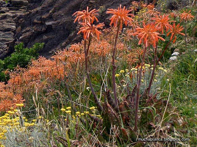 Aloe-maculata_saponaria.jpg