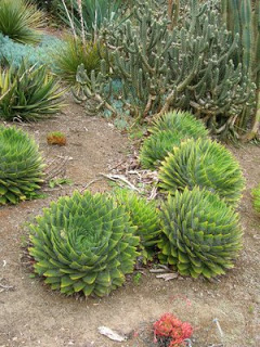 Aloe+polyphylla.jpg