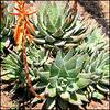AloeBrevifolia04.jpg