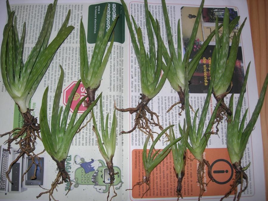 Aloes%20Gariepensisx.jpg