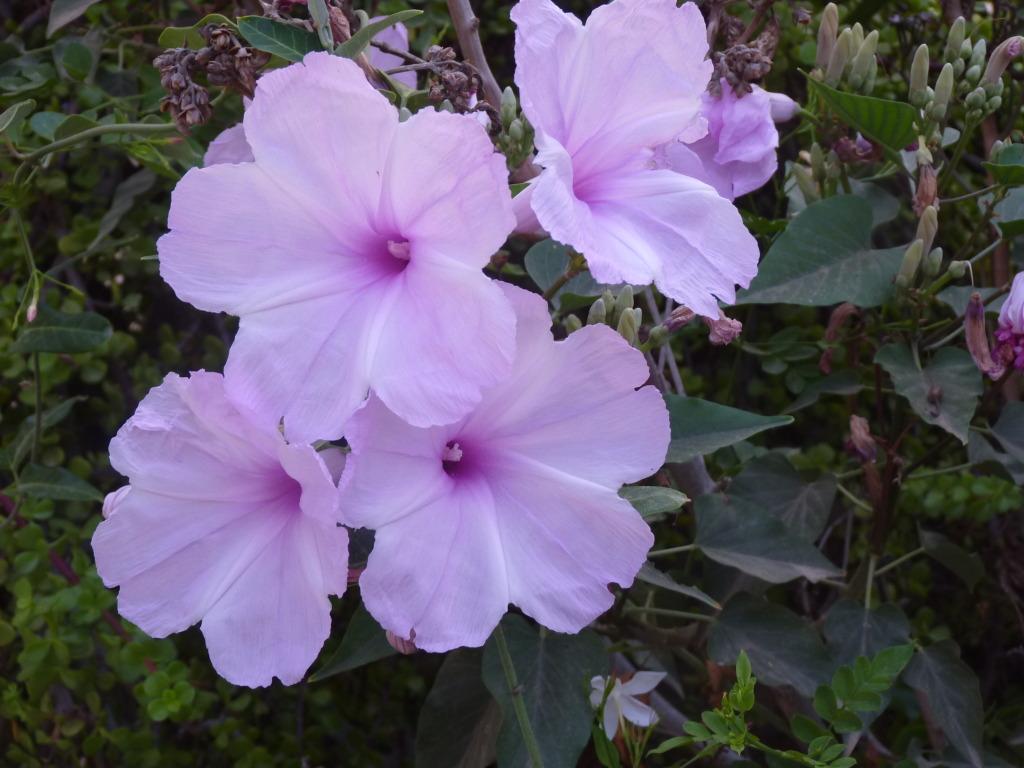 amaranthus13.jpg