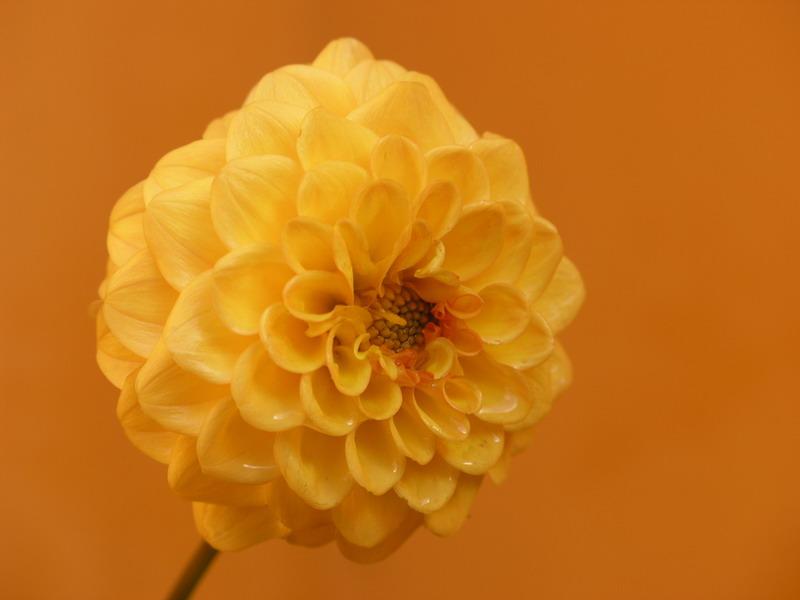 amarilla%7E1.jpg