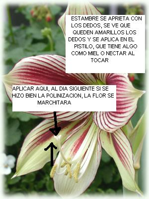Amaryllis-Papillio-lg3.JPG