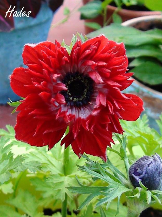 anemona.jpg