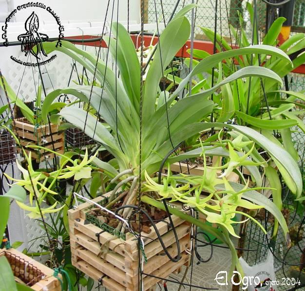 angraecumorchidgladeplanta.jpg