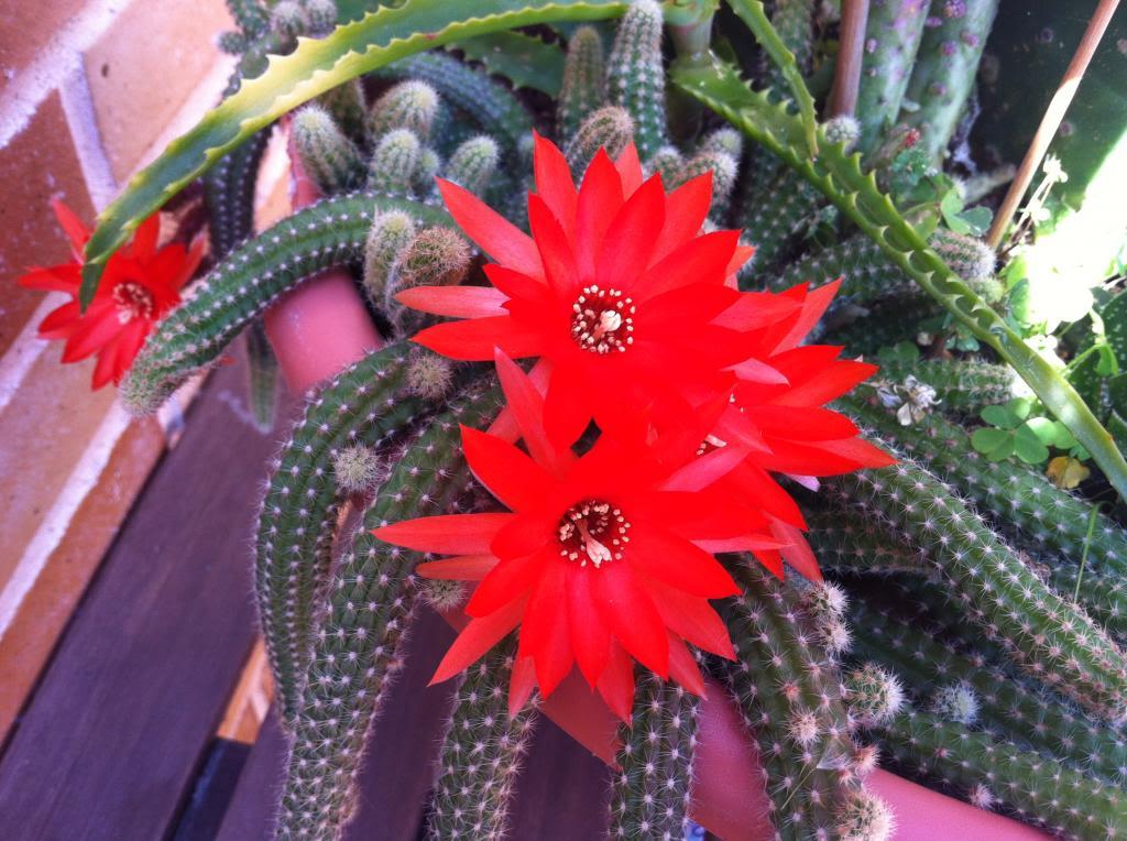 Aporocactusflageliformis3_zps2ac80787.jpg
