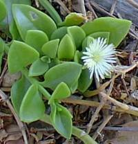 Aptenia_cordifolia2.jpg