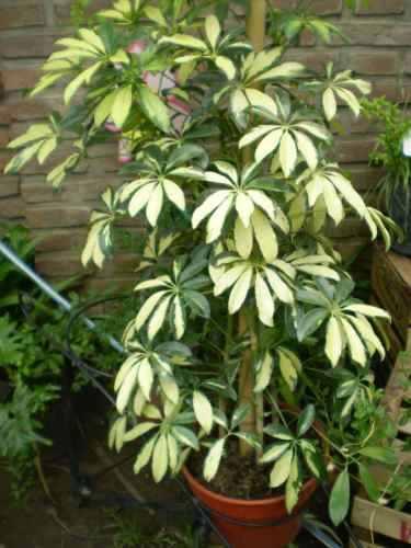 Identificar tipo de aralia y si es comestible for Viveros plantas de interior
