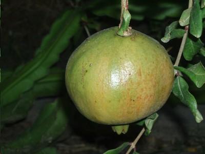 arbol_de_granado_fruto_madurando.JPG