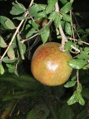 arbol_de_granado_fruto_maduro.JPG