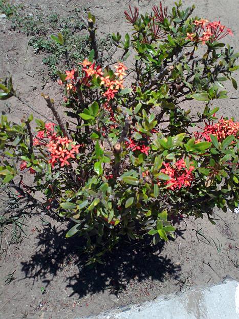 Arbusto con flores arbusto with arbusto con flores for Arbustos con flores