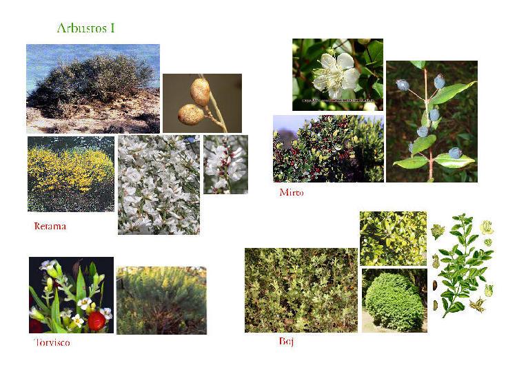 Listado de plantas con fotos para climas con heladas como for Tipos de arbustos ornamentales