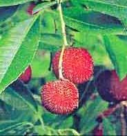 arbutus-unedo-frutos.jpg