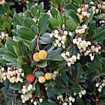 arbutusunedoplantfocus02.jpg