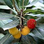 arbutusunedoplantfocus03.jpg
