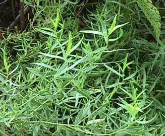 artemisia-dracunculus-hojas.jpg