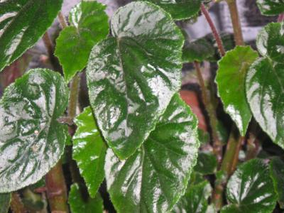 Esquejes de hoja qu plantas se multiplican por esqueje for Planta ornamental que se reproduzca por esquejes