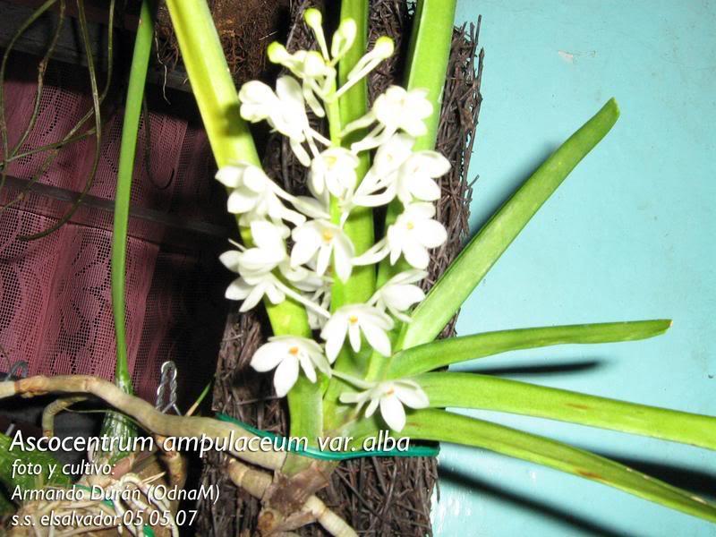 ascocentrumampuaceumvar.jpg