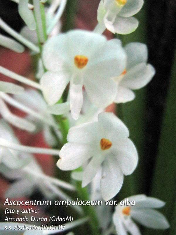 ascocentrumampuaceumvar1.jpg
