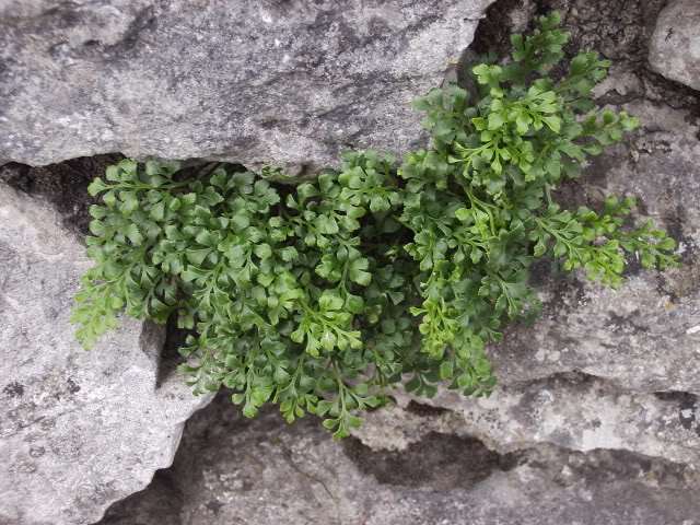 Aspleniumruta-muraria.jpg