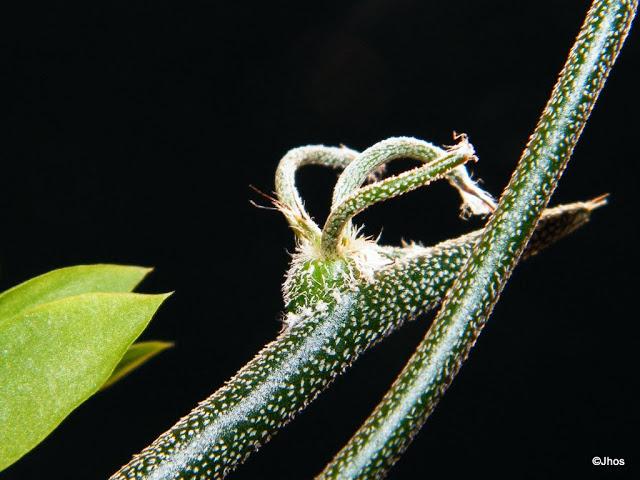 Astrophytum%20caput%20medusae%2020100606%20036.JPG