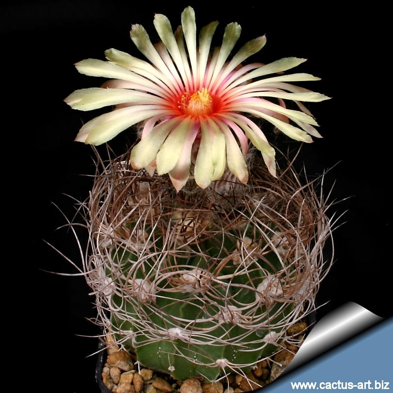 Astrophytum_senilis_rosa_810.jpg