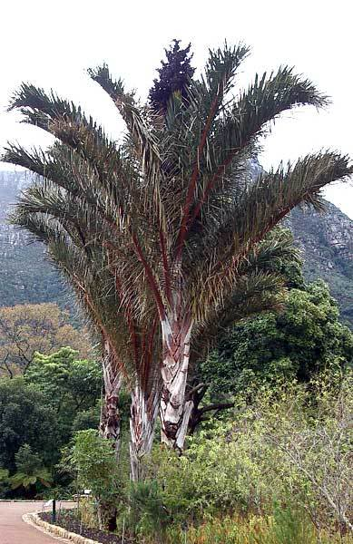 australis.jpg