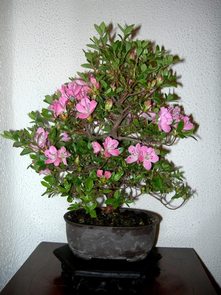 azalea-2.jpg