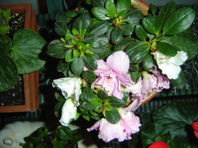 Buganvilla o bugambilia c mo hacer un bons i for Como cultivar bonsais
