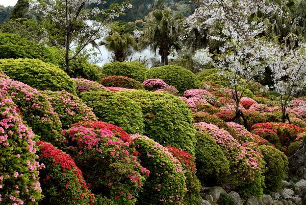 azalea-bush-garden-joe-bonita.jpg