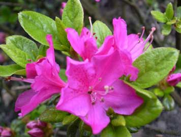 azalea-japonica.jpg