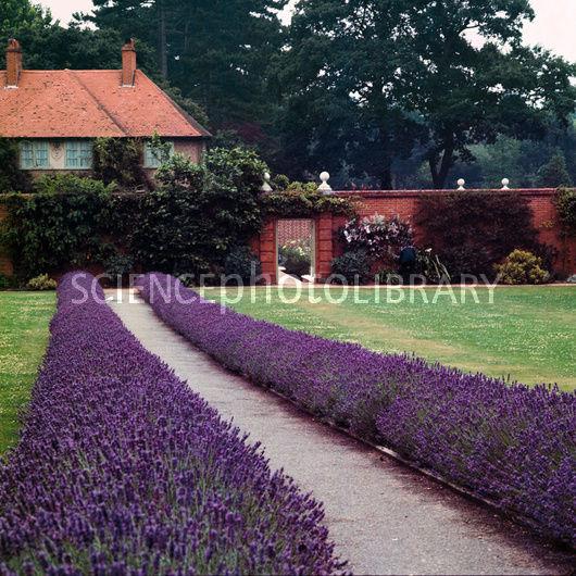 B8660006-Lavender_border-SPL.jpg