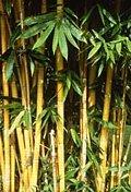 bambus-128.jpg
