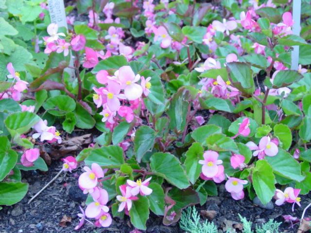 Begonia,%20BabyWing%20Pink%20290.jpg