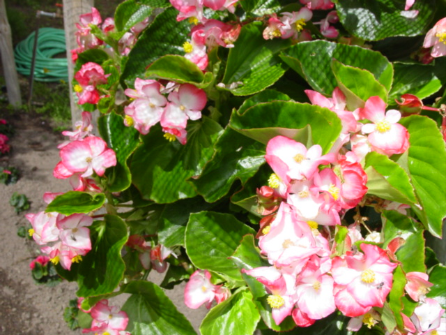 Begonia%20Bayou%20Pink%20Bicolor%20111.jpg