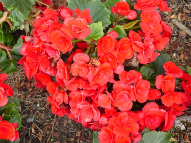 Begonia,%20Hiemalis,%20Barkos.jpg