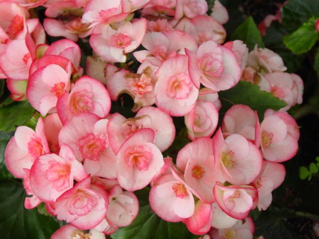 Begonia,%20Hiemalis,%20Cindy%20Fringed.jpg