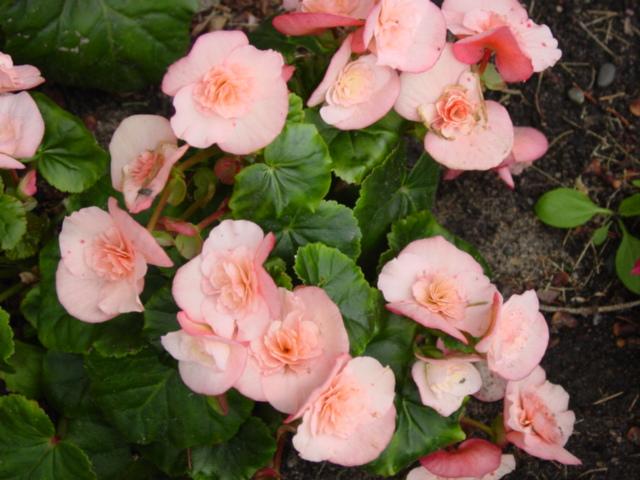 Begonia,%20Hiemalis,%20Fuga%20Cream,%20Fayal.jpg