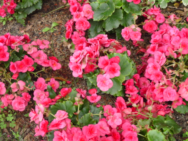 Begonia,%20Hiemalis,%20Hilar,%20Helena.jpg