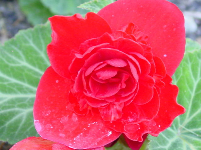 Begonia%20Nonstop%20Red,%20female%20flowers%20026.jpg