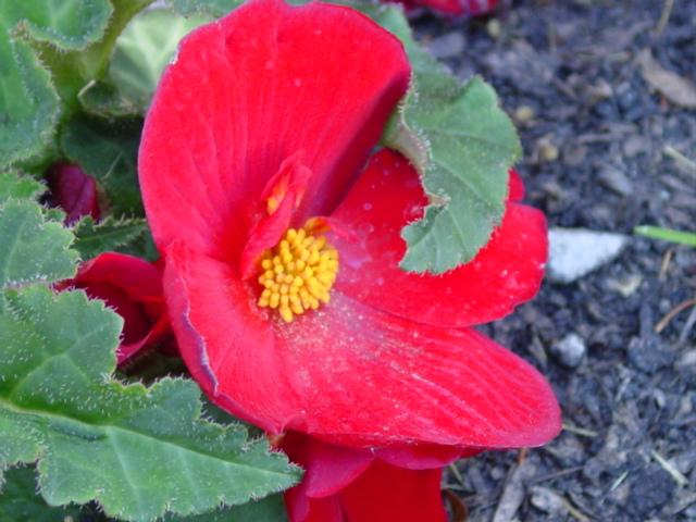Begonia%20Nonstop%20Red,%20male%20flowers%20027.jpg